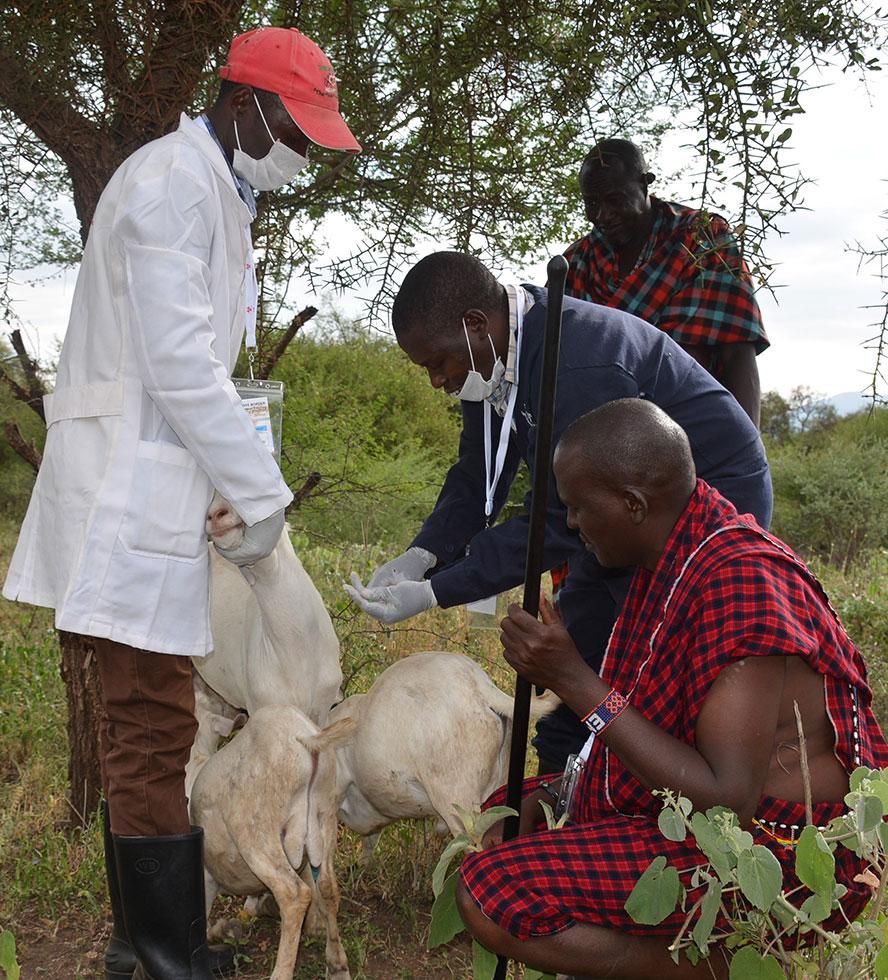 Vet Expert take sample from the sick goats