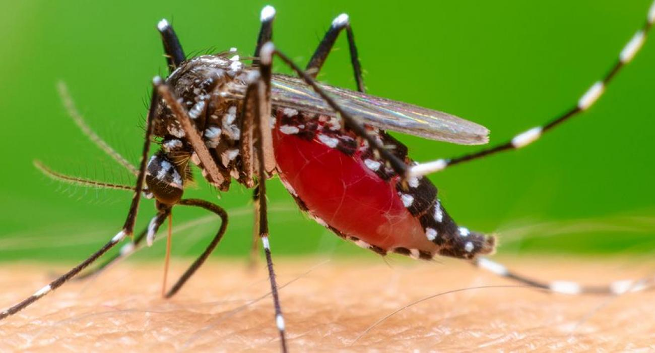 The Chikungunya mosquito. Symptoms of illness include  abrupt onset of fever, accompanied by joint pain, head ache, nausea, fatigue and rash