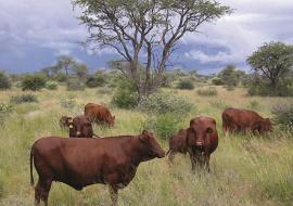 Namibia banned use of hormones and antibiotics for growth promotion in beef industry, 26 years go. Photo: Meat Corporation of Namibia