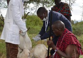 Vet experts take samples from the sick goats as Jackson and his neighbor watch
