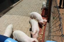 Piggery project